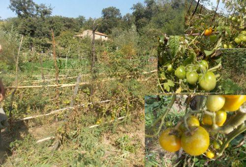 Nasce la Comunità del Cibo del Pomodoro giallo del Cilento