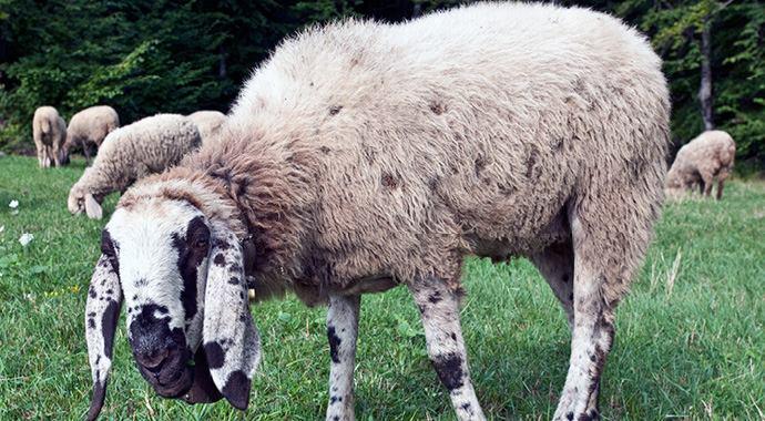 13 Aprile a Parma - Escursione nelle colline parmensi tra Pecore e Prosciutto