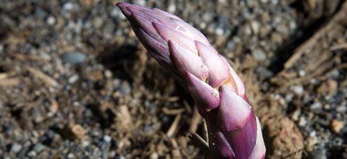 Asparago violetto di Albenga: la verdura dei Santi