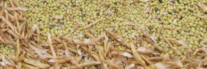 fagiolo gialet della valbelluna presidio slow food
