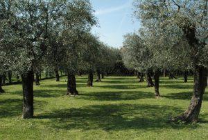 olivo quercetano presidio slow food