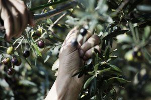 presidio slow food dell'olivo quercetano
