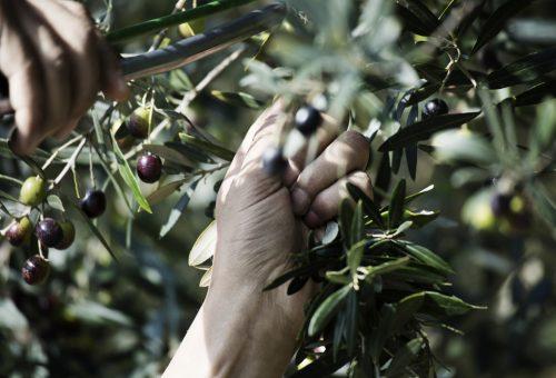Olivo quercetano vs cementificazione
