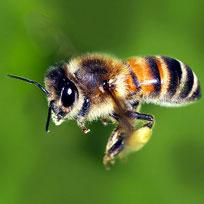 I neonicotinoidi uccidono le api