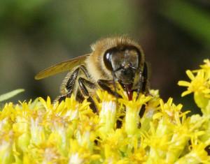 Yucatàn: il miele rischia la contaminazione transgenica