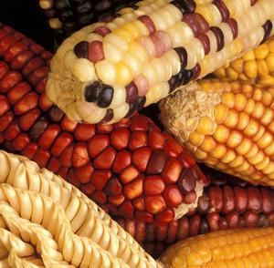 Come mai questo gran parlare di Ogm? - Slow Food - Buono, Pulito e Giusto.