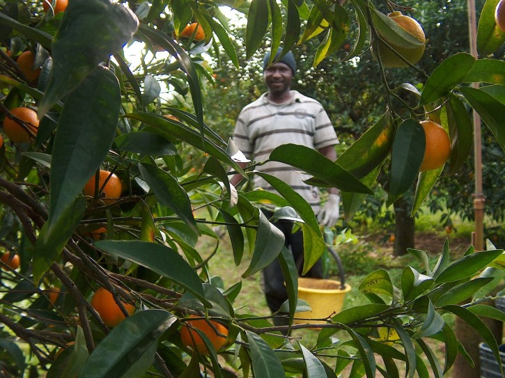 caporalato arance