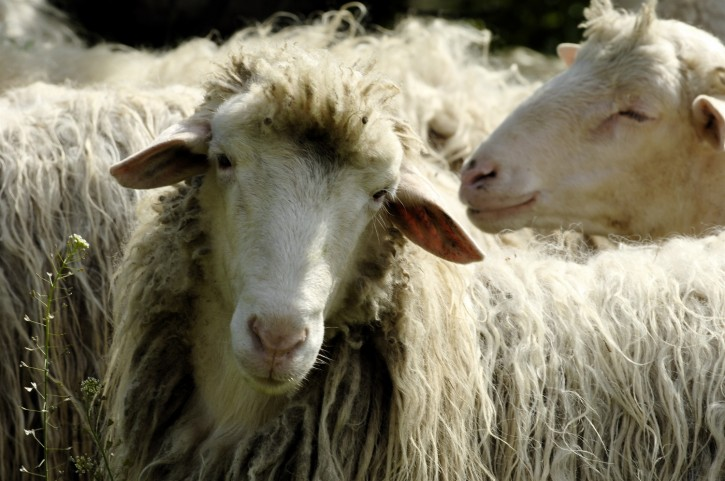 pecoresarde