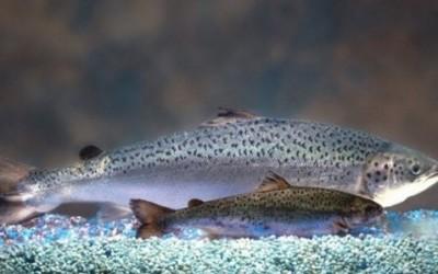 In arrivo il salmone Frankestein