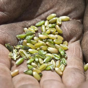 Chi controlla il mercato dei semi controlla la sovranità alimentare