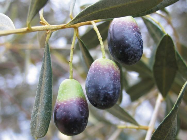 oliveAlbero