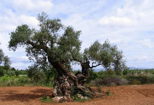 Il pericolo non è l'olio tunisino, ma la mancanza di tracciabilità