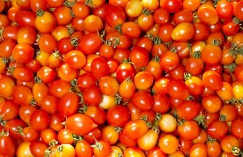 La raccolta del pomodoro siccagno nostrale di Villalba. Foto scattate presso l'azienda agricola Calafato. Presidio del Pomodoro Siccagno - Villalba (Caltanisetta) Sicilia.
