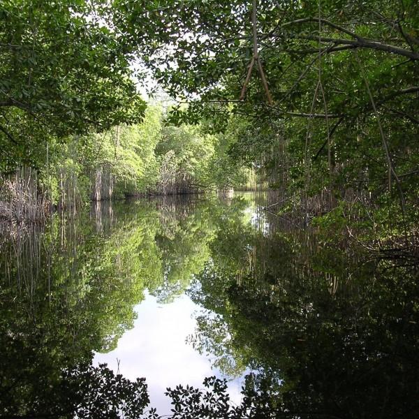 La ricchezza nascosta delle mangrovie