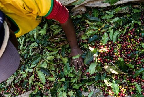 Brasile: l'uso smodato di pesticidi sta decimando i lavoratori delle piantagioni di caffè