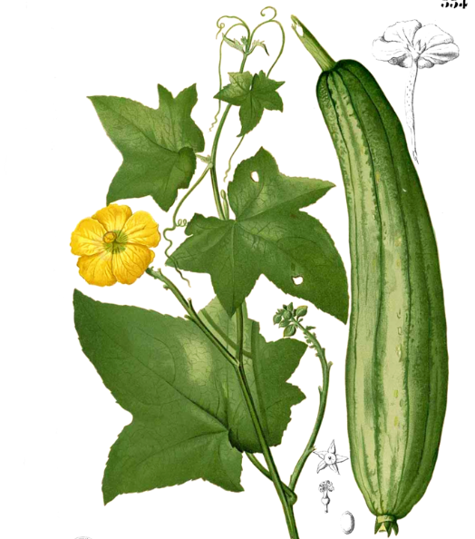 Scende in campo la zucchina slow food buono pulito e for La zucchina