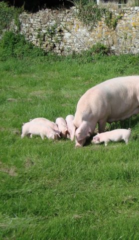 Welsh_pig_3-596x1024