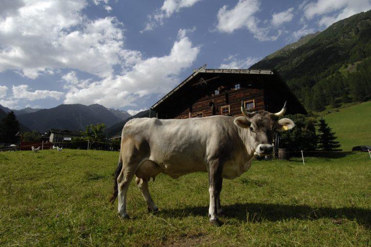 mucche_latte_sudtirolo