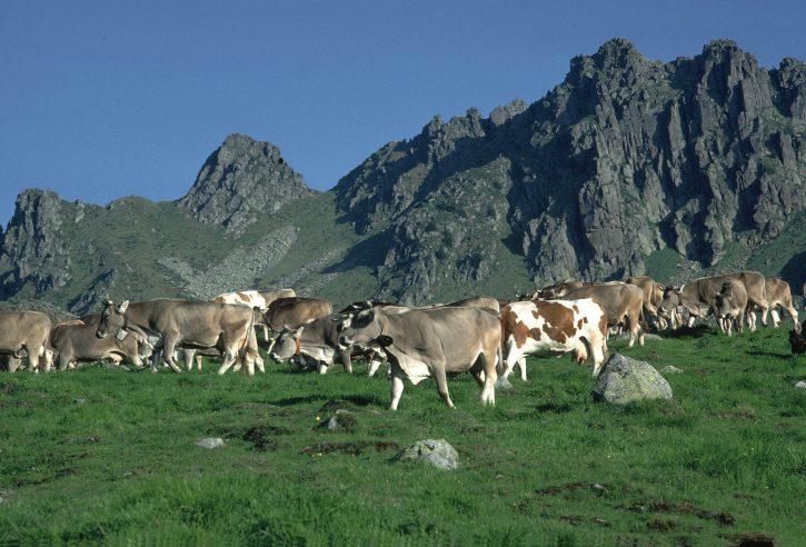 mucche_latte_sudtirolo4