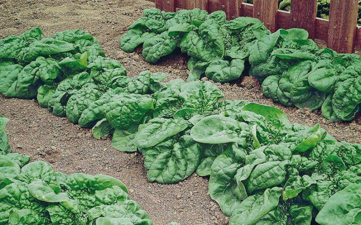 concimazione-spinaci