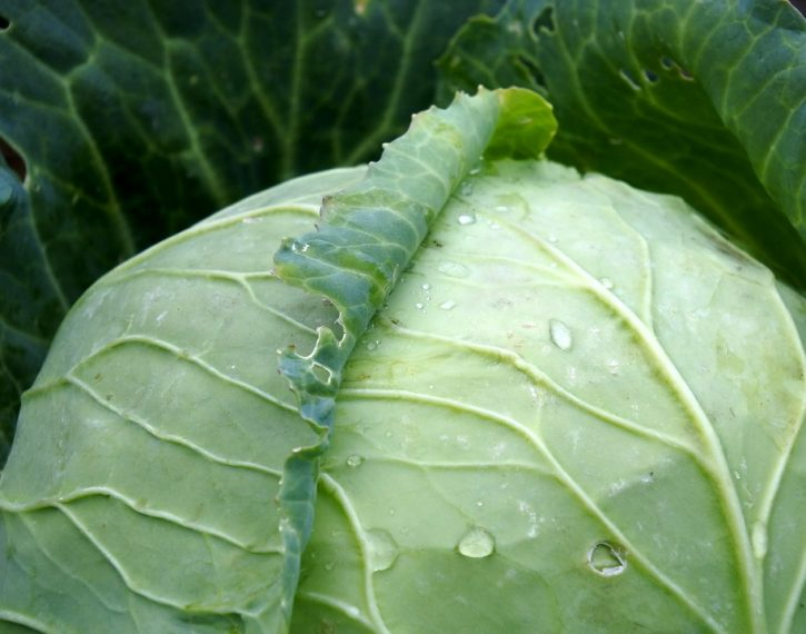 cabbage-971673_960_720