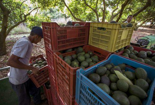 È l'avocado il nuovo nemico delle foreste?