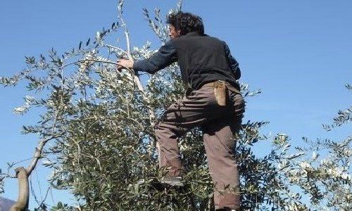Ulivicoltori d'Italia: scoprite questi eroi contadini con il progetto Slow Food