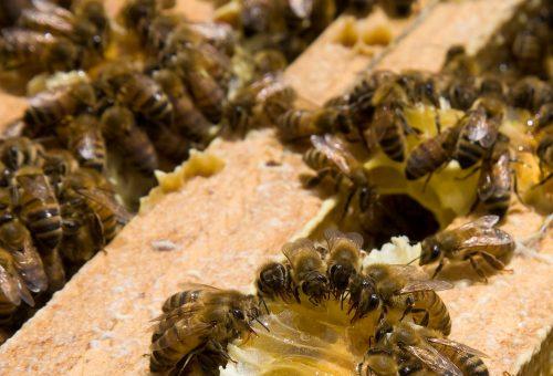Il clima impazzito spegne il ronzio delle api