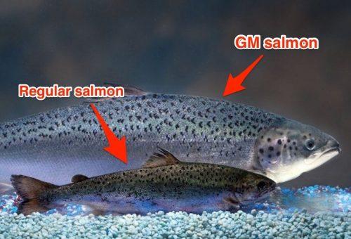 In Canada arriva il salmone Ogm. Lo vedremo nei piatti europei?