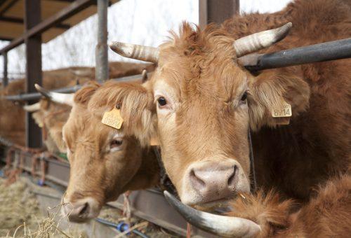 Meno carne fa bene al pianeta. Ma il pascolo fa la differenza