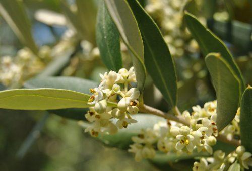 Olio, Toscana: annata assai dura. Ma il vero pericolo si chiama standardizzazione