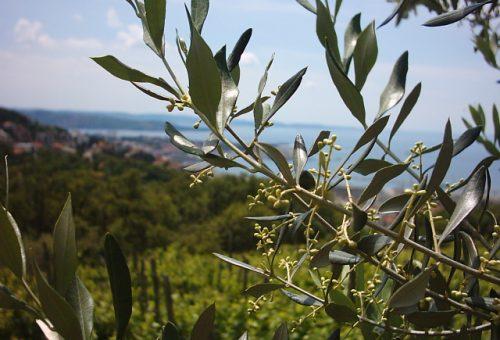 Friuli Venezia Giulia: produzione contenuta ma di buona qualità