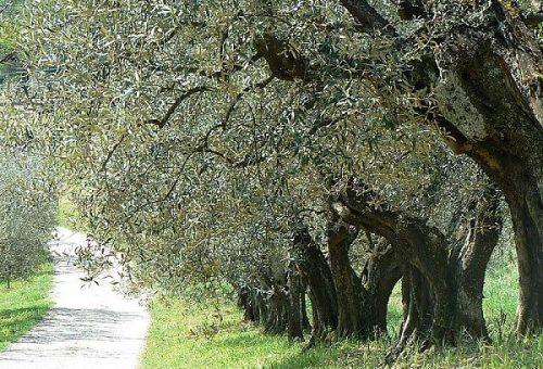 Olio, Umbria: la pazienza premia e vince contro la chimica