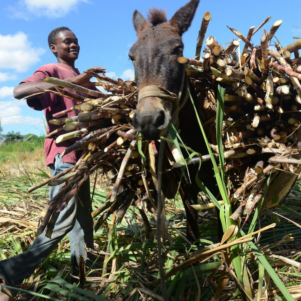 Clairin, il rum che distilla l'anima di Haiti