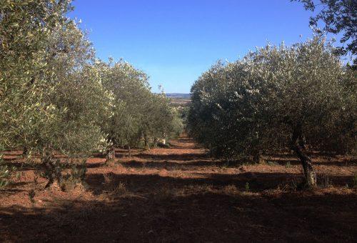 Sardegna: poca chimica, buone rese. La bella annata dell'olio