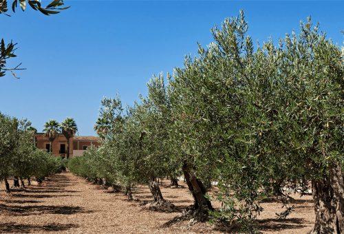 L'oro di Sicilia resiste: crescono produzione e qualità. E il bio