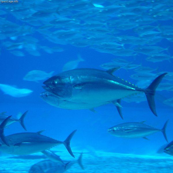 Bando alla prudenza: aumentano del 20% le quote di pesca del tonno rosso