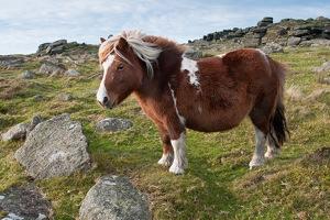 Uk, l'associazione per la tutela dei pony sconvolge i britannici: «Per salvarli bisogna mangiarli»