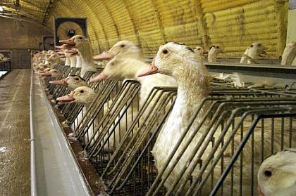 «Lasciate che mangino foie gras»