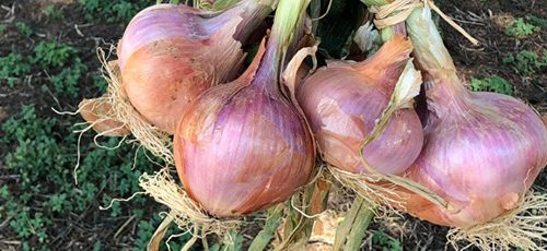 Viaggio nell'Italia dei Presìdi Slow Food: la cipolla di Airola