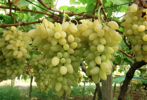 Lode al «Pizzutello», l'uva dei Papi diventata Slow Food