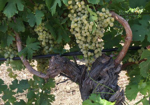 Inzolia o Ansonica? L'uva dai mille nomi che unisce la Sicilia alla Toscana