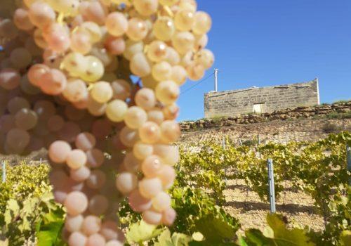 Grecanico, storia e mito di un vitigno siciliano dall'origine incerta.