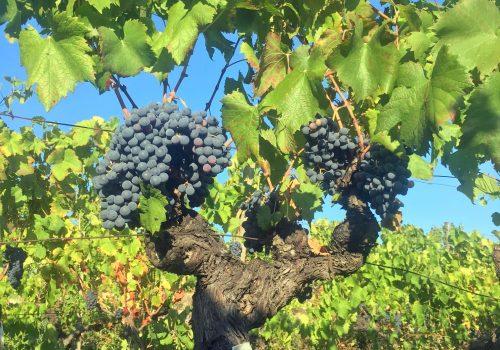 Nocera, storia di un vitigno antico in piena rinascita