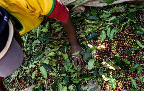 Santo Antonio do Amparo,MG, 11/07/2015 - DanWatch - - Manual harvest - Worker Valéria Photo: Lilo Clareto/DanWatch