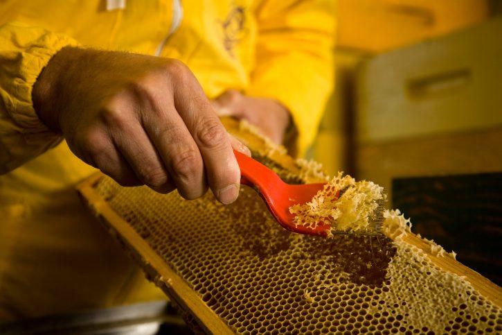 I telai vengono liberati inizialmente dalla cera (nelle foto il procedimento è svolto a mano) Apicoltura Biologica di Floriano Turco a quota 2150 metri slm presso Elva. Produzione del miele di Montagna - Alta Valle Maira. (CN)