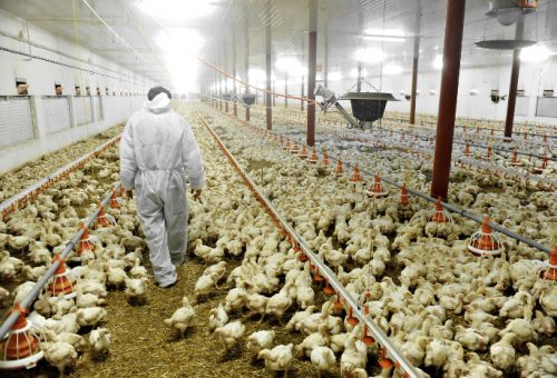 Pollo al cloro e altre meraviglie