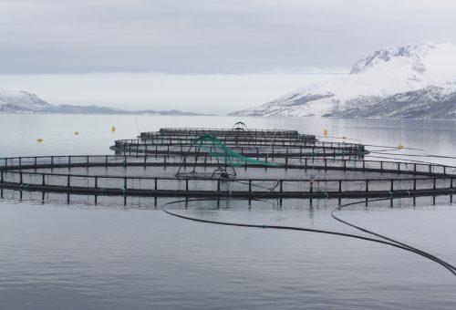 L'insostenibile industria del salmone alla conquista dei mari
