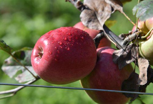 Le mele polacche invadono l'Italia. Occhio alla buccia!