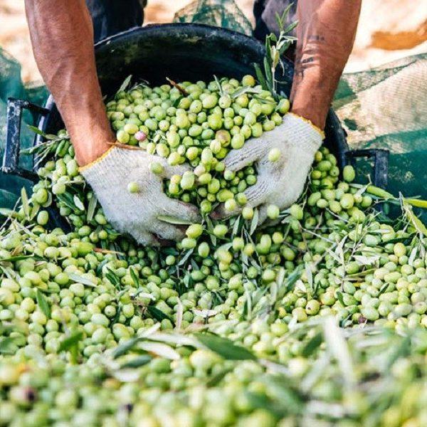 Campagna olivicola: il raccolto 2021 tra crisi climatica e incendi